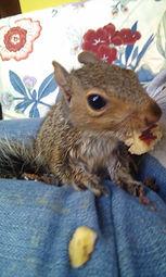 Orphan squirrel ready to go soon