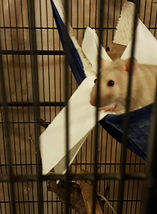 Mousie the rat