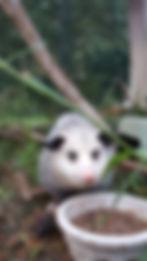 opposum/possum rehabilitated