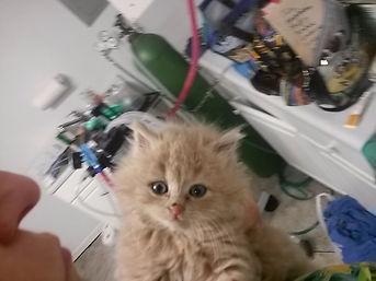 Kitten with presurgery jitters