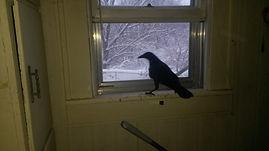 Recooperating injured crow