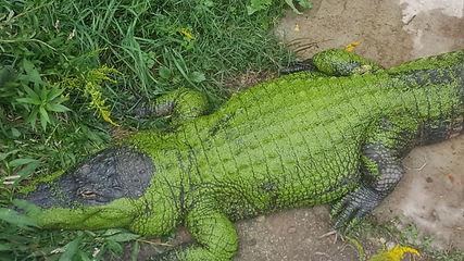 Lex the alligator