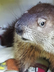 Nana the woodchuck reay for release after rehab