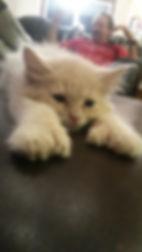 Polydactyl kitten