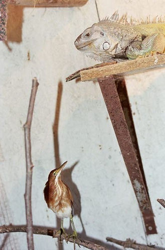Least bittern and green iguana at animal shelter