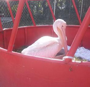 Injure pelican