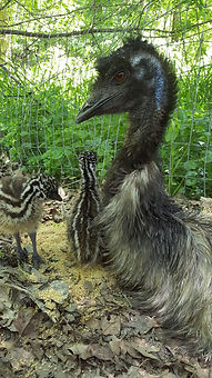 Daddy emu with two chicks
