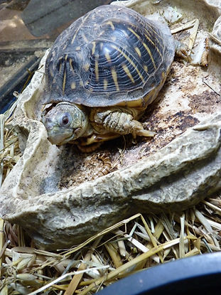 Recovered ornate box turtle