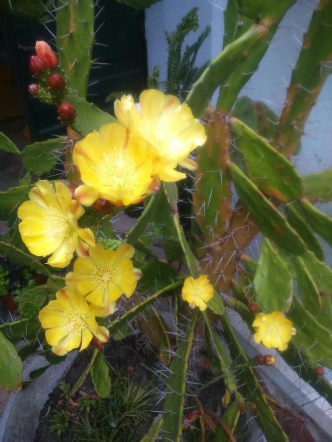 Cactáceas floreciendo
