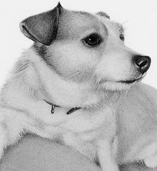 Beautiful realistic pencil portrait of a Jack Russell Terrer