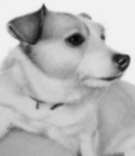 Beautiful, realistic pencil portrait of a Jack Russell