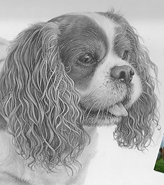 Beautiful, realistic pencil portrait of a King Charles Spaniel dog