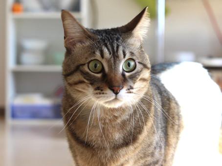 猫の輸血用採血と鎮静処置