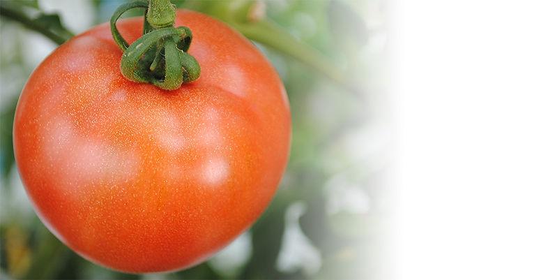 トマト980×500.jpg
