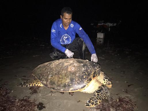 Ninhos de tartaruga no litoral são protegidos