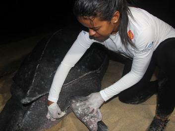 Temporada de desova de 2020, litoral do Piauí