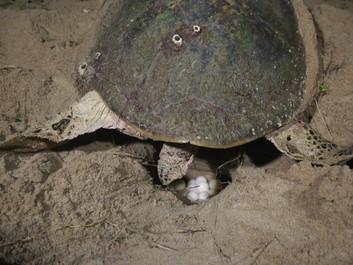 Dia internacional das tartarugas marinhas