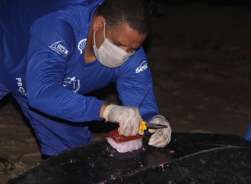 Pesquisadores monitoram reprodução de tartaruga de couro no litoral do Piauí