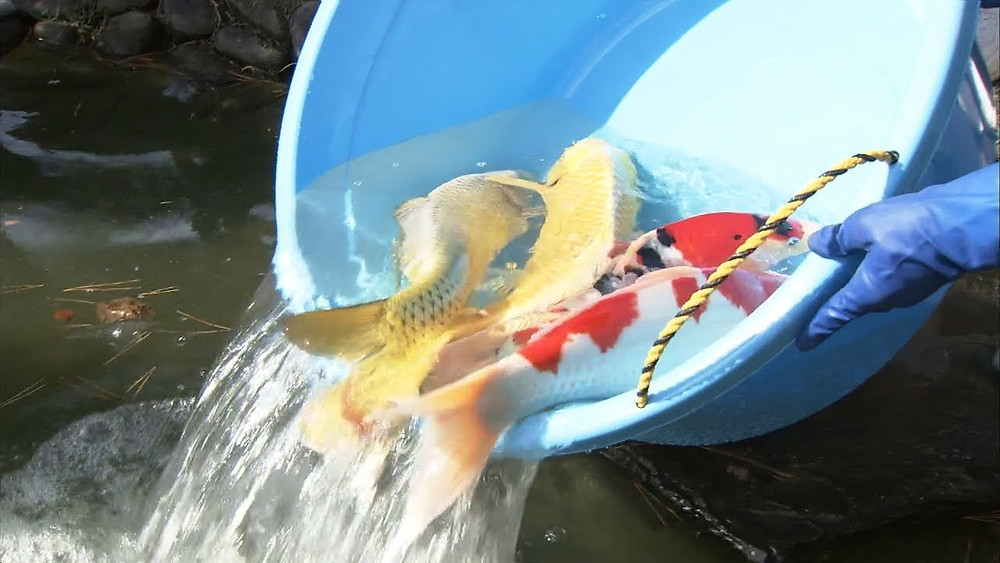 栗林公園 鯉放流