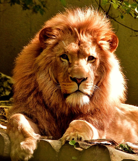 close-up-portrait-of-lion-247502_edited.