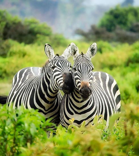 zebras-on-zebra-247376_edited.jpg