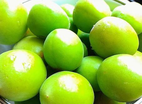 梅の実を収穫しました!