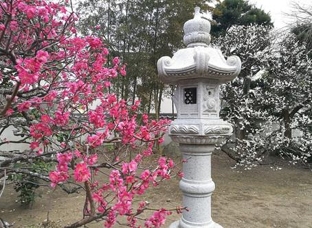 庭の梅の花が満開です。