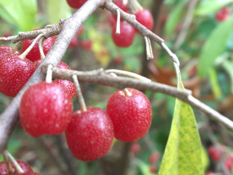 invasively delicious - autumn berries