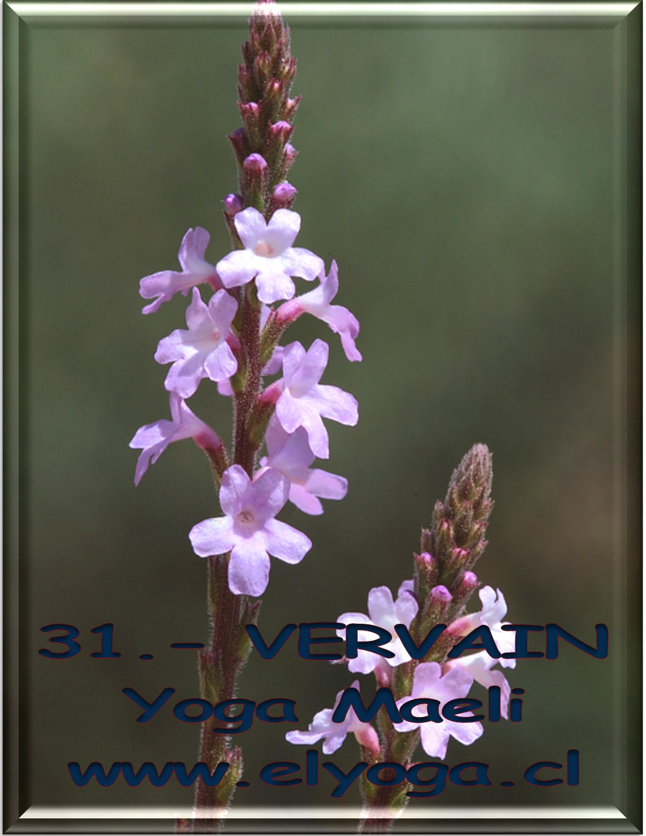 31VERVAIN
