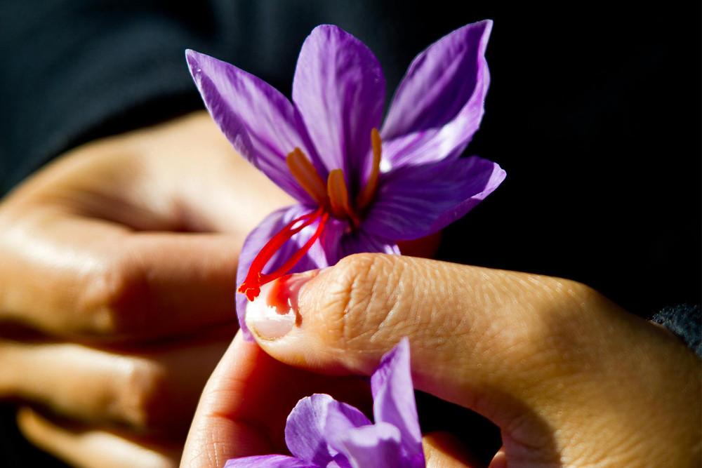 Handverlesene Safranfäden von bloom safran
