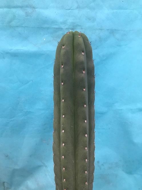 "Scopulicola x Chalaensis 10"" fresh tip cut"