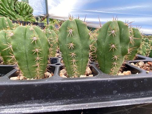 Peruvianus Clyde x Huanucoensis Hybrid Seedling