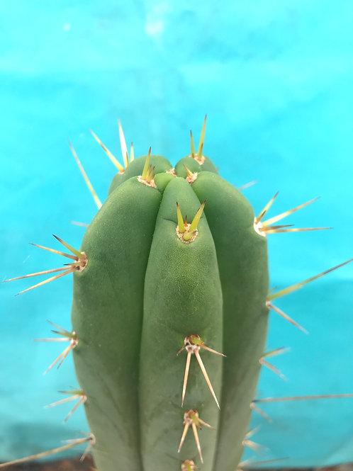 "Huanucoensis x Killer Green Cactus 10"" fresh tip cut"