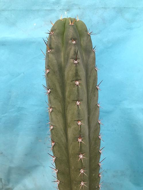 "Huarazensis OP   10"" fresh tip cut"