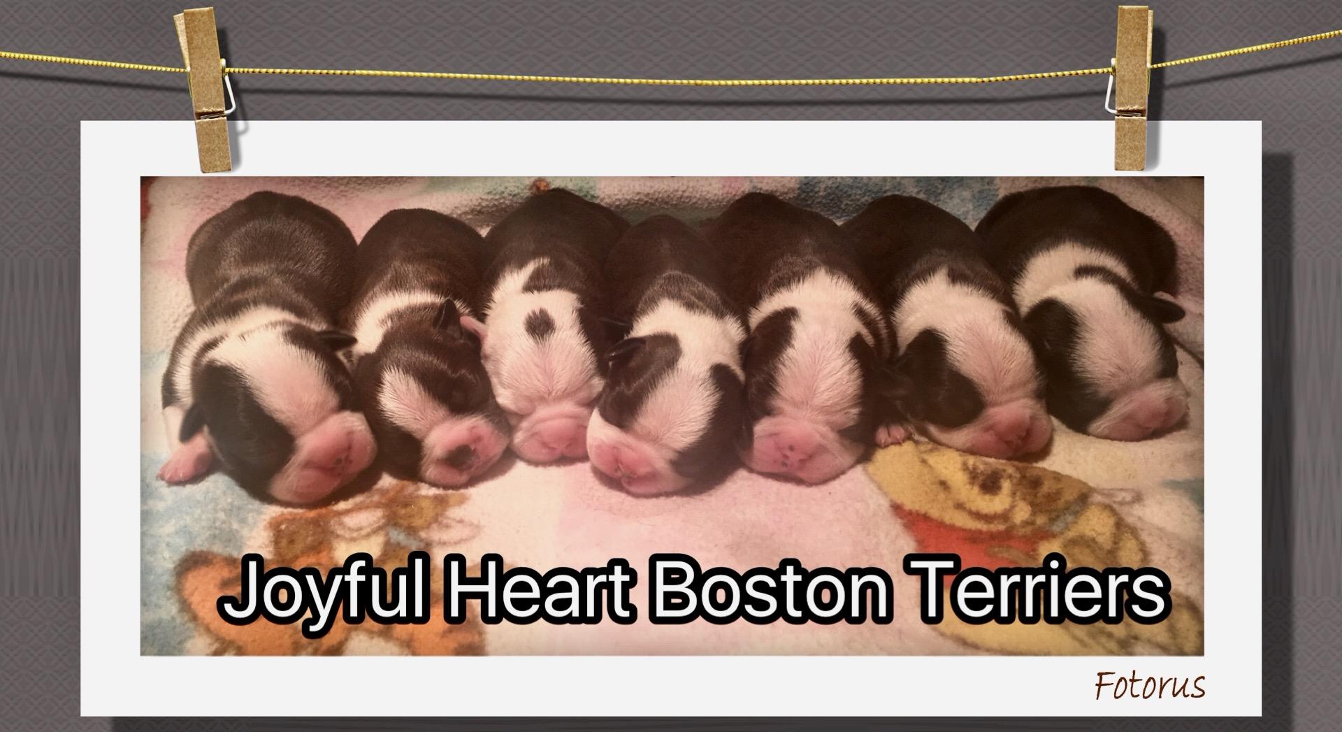 Joyful Heart Boston Terrier Logo