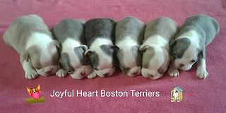 Joyful Heart Boston Terriers rainbow lit