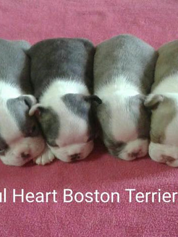 Joyful Heart Boston Terriers rainbow lit