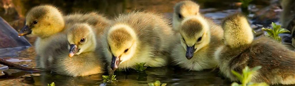 Baby Ducks Home.jpg