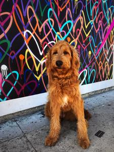 golden doodle love