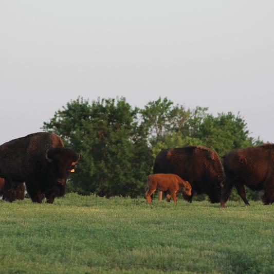 The herd grazing