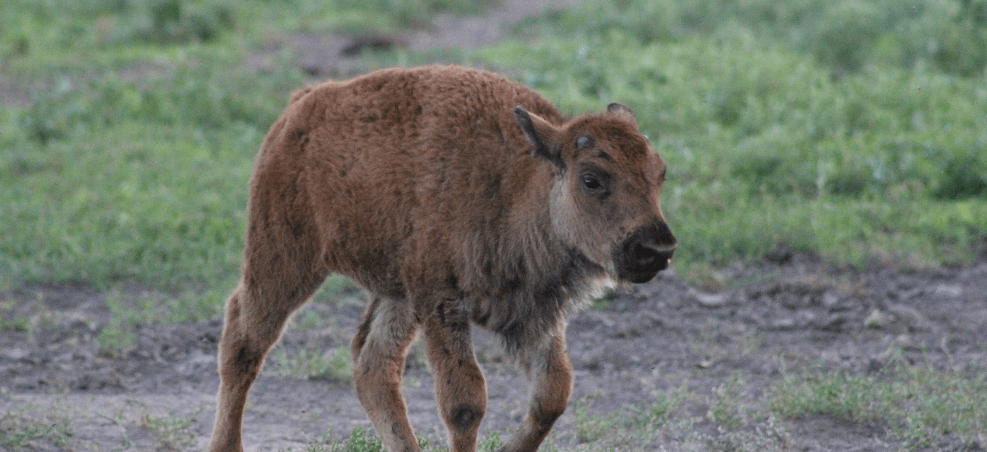 Baby bison walking