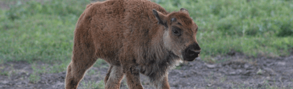 Baby bison walking