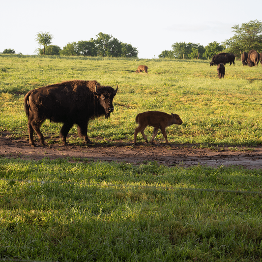 Bison Sticking together