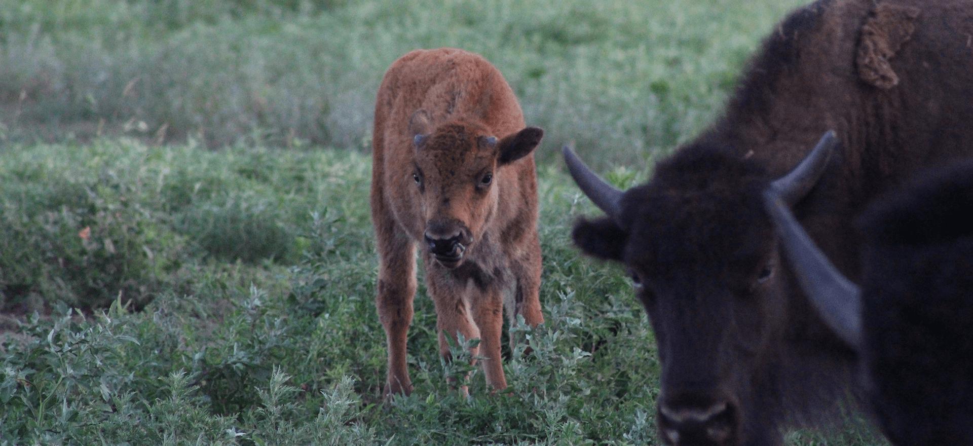 Bison generations
