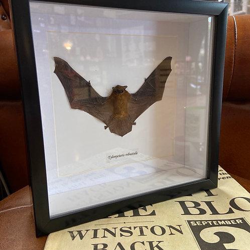 Taxidermy Bat (Tylonycteris robustula)