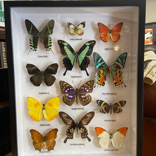 Taxidermy (Butterfly's)