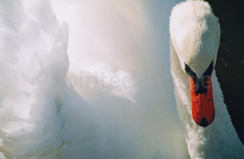 Mute Swan  ©BSimons