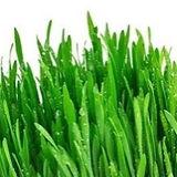 wheatgrass_edited_edited.jpg
