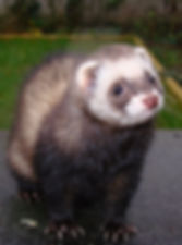 pet care - ferret