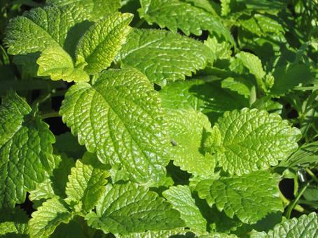 Herbal Spotlight: Lemon Balm